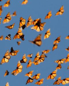 Colorful Monarchs in flight
